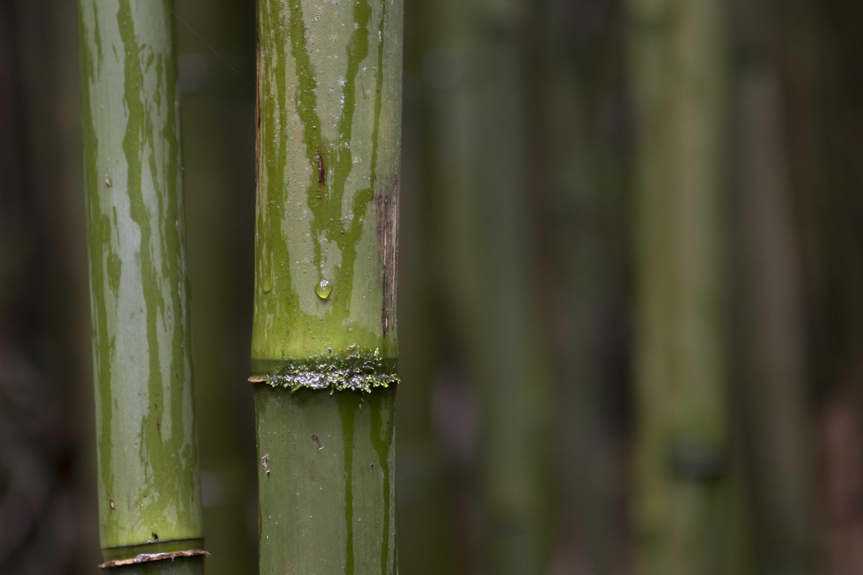 Bambu tree
